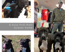 bear & bones update   the b-boys find their furever home