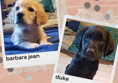 april brought us… lab/labradoodle puppies!!!